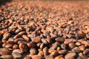 Cacao beans, dried in their raw state.